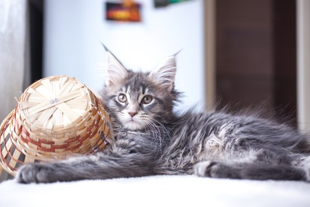 pampered: Portrait of blue tabby color Maine coon kitten