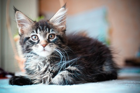 Close up of Black tabby color Maine coon kitten photo