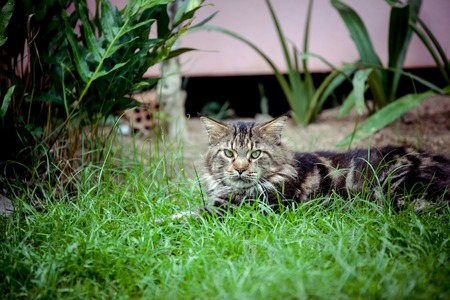 maine coon: Maine Coon cat lying on grass