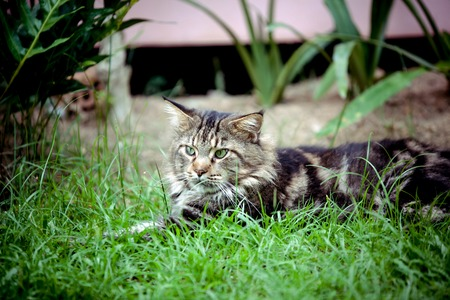 maine cat: Maine Coon cat lying on grass