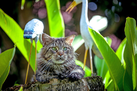 maine coon: Attentive Cat Maine Coon looking around nature Stock Photo