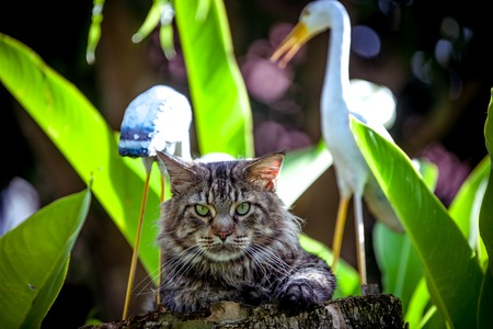 looking around: Attentive Cat Maine Coon looking around nature Stock Photo