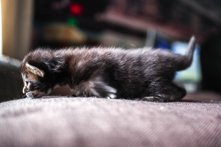 pampered: Maine coon little black tabby kitten at home Stock Photo
