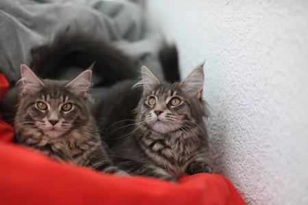 lince rojo: Divertidos gatos de Coon de Maine azules que se sientan en el sofá rojo Foto de archivo
