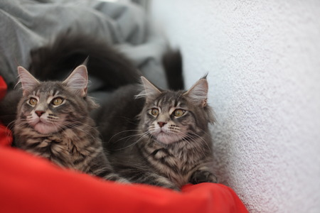 maine coon: Funny Maine coon blue cats sitting on the red sofa Stock Photo