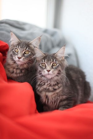 Funny Maine coon blue cats sitting on the red sofa Stock Photo