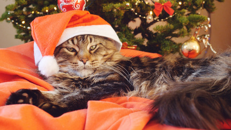 Funny Maine Coon cat as Santa Claus wears christmas cap sits on the pillow at a beautiful new year decorated tree