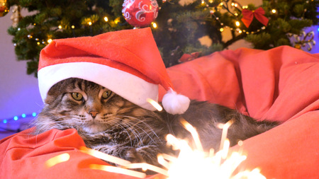 Funny Maine Coon cat as Santa Claus wears christmas cap sits on the pillow at a beautiful new year decorated tree and bengal lights on the foreground