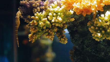 Beautiful exotic seahorse in the aquarium. Underwater Scene.