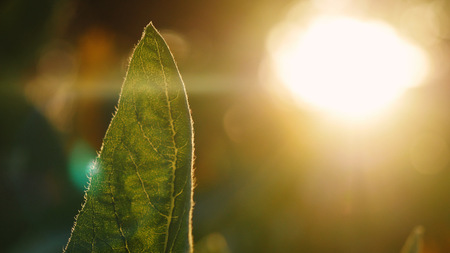 Beautiful leaf of sunflower during sunset time