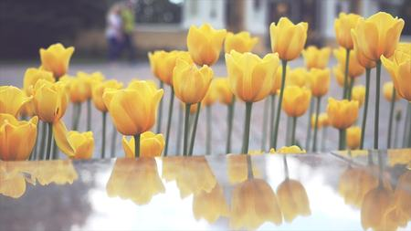 bourgeon: Yellow tulips in Springtime in a Square