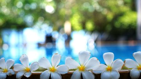 Fresh white frangipani plumeria tropical exotic flowers over blurred swimming pool water and tree of frangipani. Stock Photo