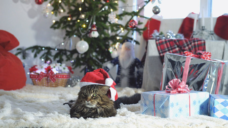 Funny laizy Maine Coon cat as Santa Claus wears christmas cap lies by beautiful new year decorated fir-tree and looks at camera