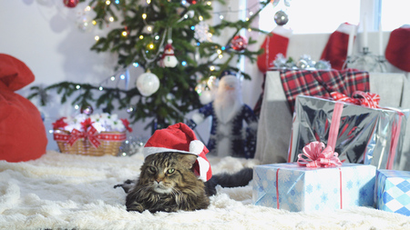 Pretty Maine Coon cat as Santa Claus wears christmas cap lies by beautiful new year decorated fir-tree Stock fotó