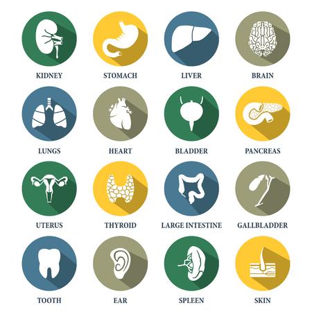 organos internos: Vector �rganos humanos iconos conjunto Vectores