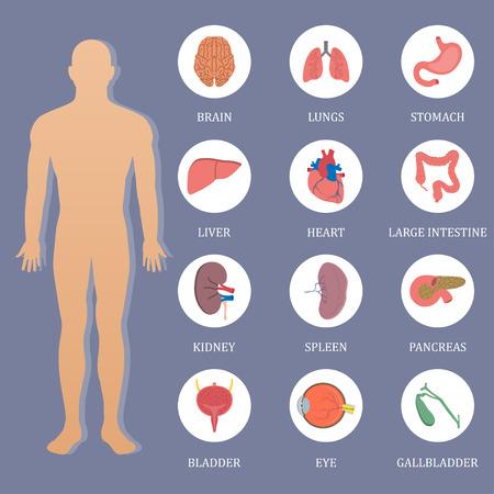vein valve: Vector human organs flat style banner Illustration