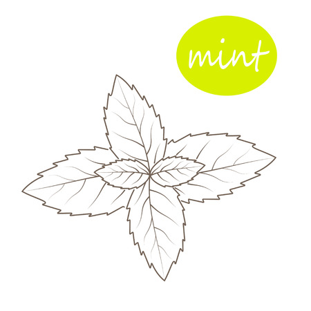 mint leaves: Vector mint leaves on a white background
