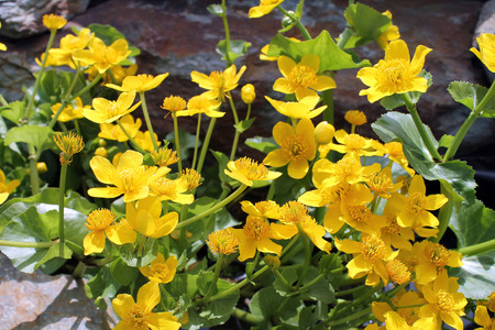 perennial: Marsh marigolds  Perennial herb garden with Golden flowers  Ranunculaceae