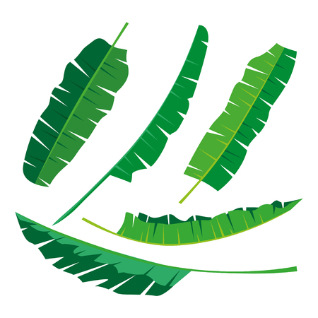Tropical banana Leaves Collection on isolate vector. Beautiful Set. Vector illustration. Illustration