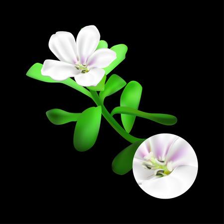 leafed: Bacopa monnieri plant on black background. Brahmi or waterhyssop, thyme-leafed gratiola, water hyssop, herb of grace, Indian pennywort. Medicinal plant. Realistic vector illustration.