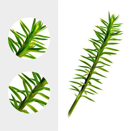 Huperzine plant on white background. Medicinal plant. Realistic vector illustration.