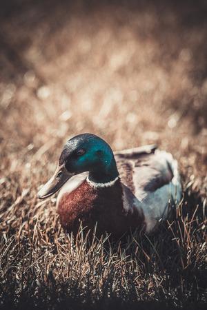 quack: duck Stock Photo