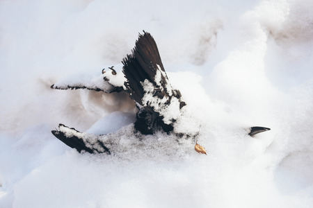 Dead a hungry or frozen black crow lying on the snow in the winter