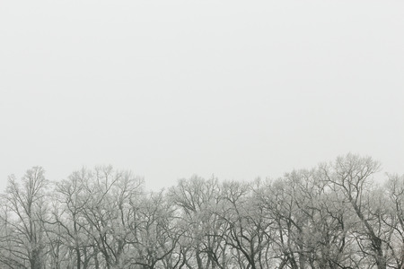 Tops of the bare trees in winter time