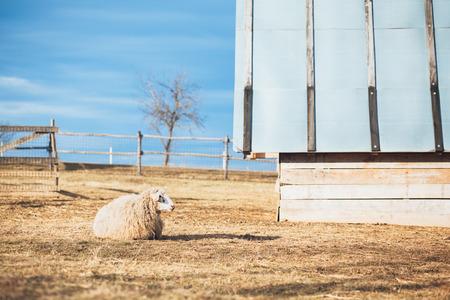 Pecore sul paesaggio campagna rurale