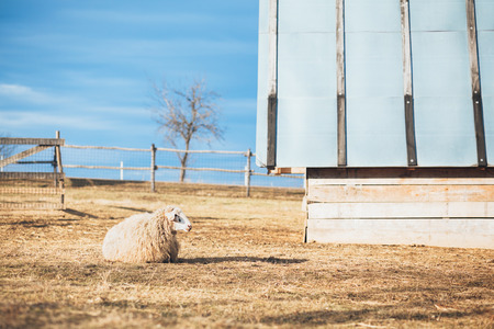 Sheep on the rural countryside landscape