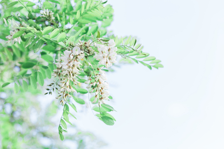 Close-up of the acacia tree blooming 스톡 콘텐츠