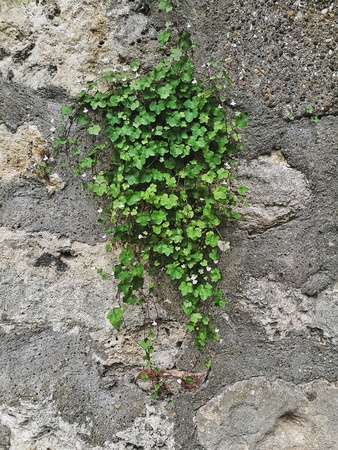 Plant growing from the stone wall