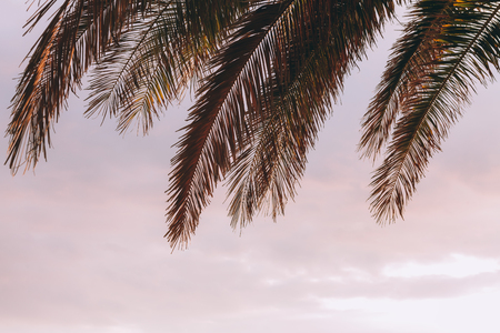 Tips of palm tree leaves in sunset