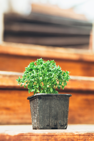 Green basil in a pot on a wooden background. Toned image. Focus selective