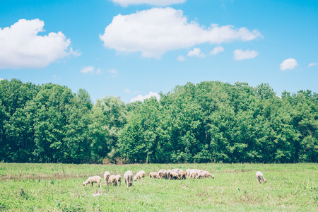 Herd of sheeps in the meadow in the springtime Archivio Fotografico