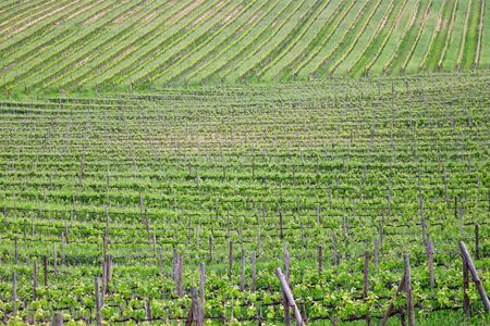 View of the green vineyard in springtime Stock Photo