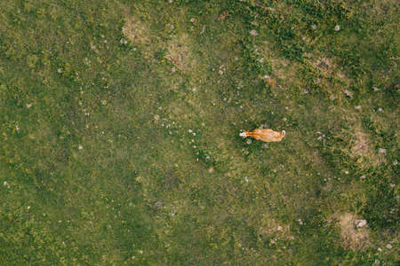 Aerial view of a cow in the field in sunset light