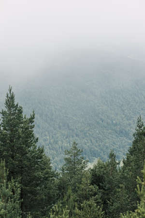 View of a beautiful foggy pine trees in the mountains