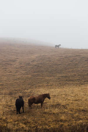 Horses on a misty meadow