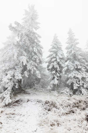 Fir trees covered in snow in the mountains 版權商用圖片