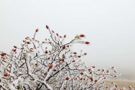 Frozen dog-rose in the field in winter morning