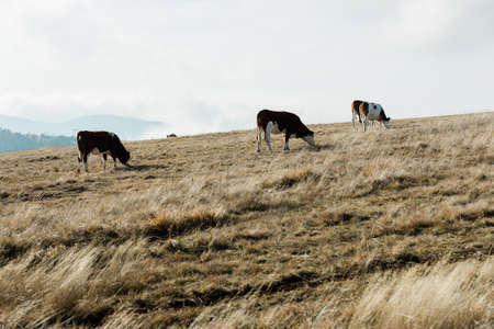 Herd of cows on the mountain top