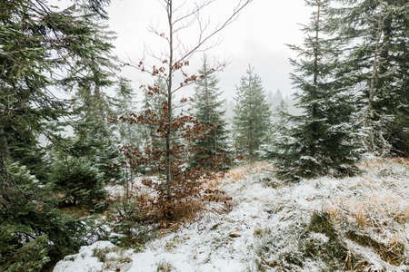 Fir trees in the mountains in winter time 版權商用圖片
