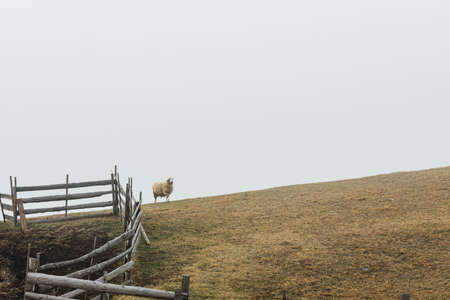 One sheep on the meadow by the fence in foggy morning 版權商用圖片