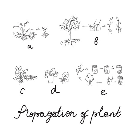 germinate: Plant vegetative reproduction or propagation - hand drawing scheme. Illustration