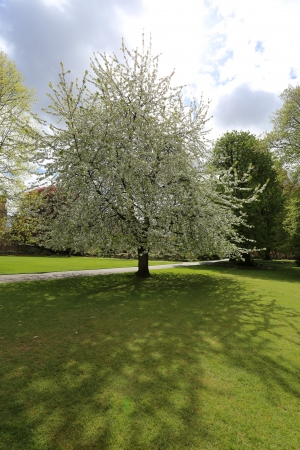 blanch: White cherry tree blossom in the park