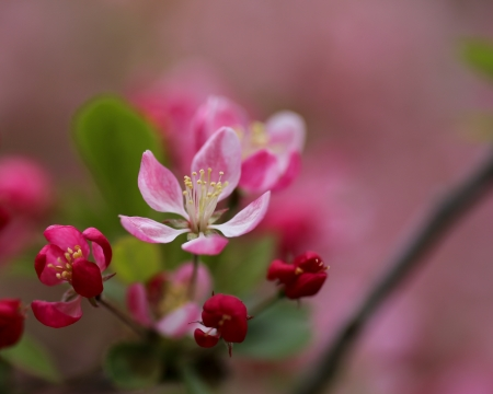 Red and pink spring cherry blossoms closeup Stock Photo