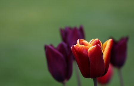 Violet and red tulip flowers on light green background, spring 2013 Stock Photo