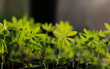 Young lupinus plant growing in greenhouse Stock Photo
