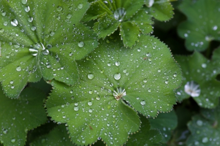 alchemilla mollis: Alchemilla mollis (Ladys mantle) fan-shaped leaves and raindrops